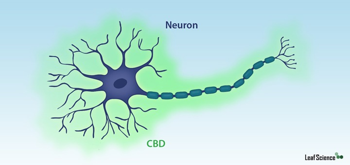CBD-benefits - brain-neuroprotection